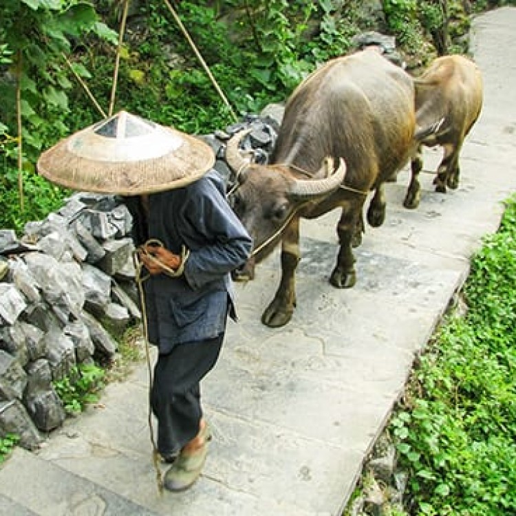 Chase | China - C1204 Leading buffalo home for the night