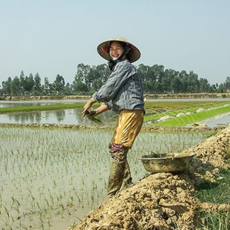Chase | Vietnam - A 140 Working rice paddies