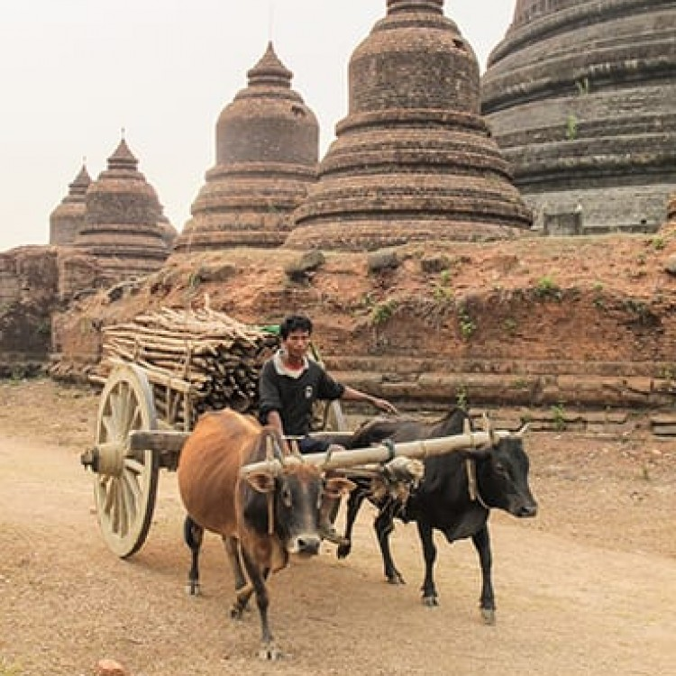 Chase | Burma - F 7718 oxen and pagodas of Mrauk